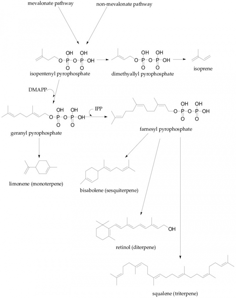 Biosynthesis of terpenes