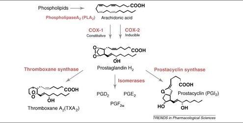 COX Prostaglandin Pathway